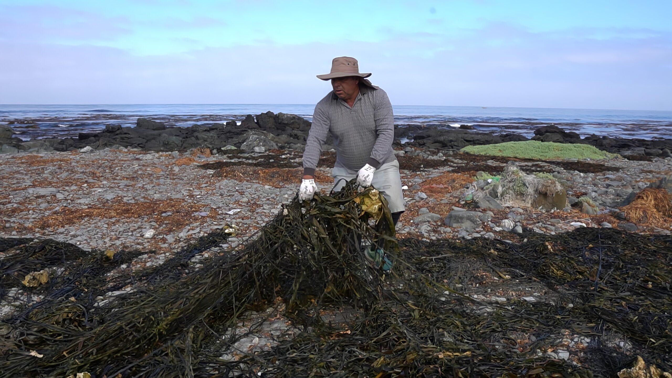 チリ漁民による海藻収集風景