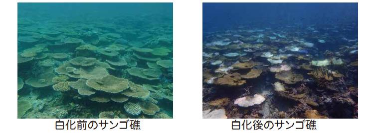 サンゴ礁の白骨化前と白骨後